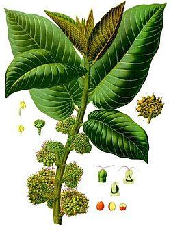 Castilla elastica - Köhler–s Medizinal-Pflanzen-174.jpg