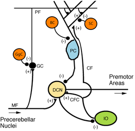 Stellate cell - Microcircuitry of the cerebellum. Excitatory synapses are denoted by (+) and inhibitory synapses by (-).MF: Mossy fiber.DCN: Deep cerebellar nuclei.IO: Inferior olive.CF: Climbing fiber.GC: Granule cell.PF: Parallel fiber.PC: Purkinje cell.GgC: Golgi cell.SC: Stellate cell.BC: Basket cell.