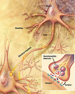 "drawing showing a neuron with a fiber emanating from it labeled ""axon"" and making contact with another cell. An inset shows an enlargement of the contact zone."