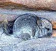 Un chinchilla dans des rochers