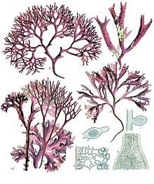 A-D: Chondrus crispus Lyngb., E-F: Gigartina mamillosa J.Ag.