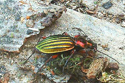 Carabe à reflet cuivré(Chrysocarabus auronitens)