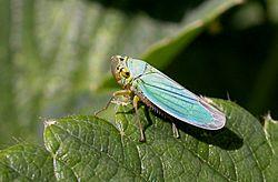 Cicadelle verte Cicadella viridis)