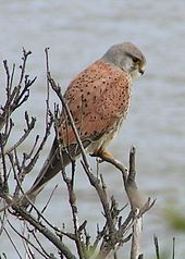 Common Kestrel 1.jpg