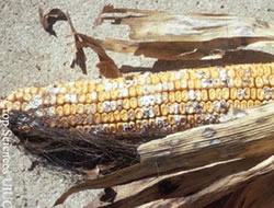 Figure 1: Fusarium ear rot, caused by the fungi Fusarium verticillioides and F. proliferatum, may typically be a more common ear rot of corn. Source: UIUC available at: http://www.extension.umn.edu/cropenews/2007/07MNCN42.html