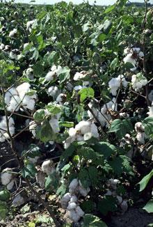 棉田裏的棉莢