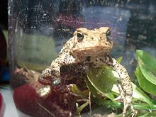 Une sorte de grenouille beige tachetée de noir et brun à la peau rugueuse, vue de face dans un terrarium