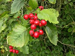 Fruits de Crataegus crus-galli