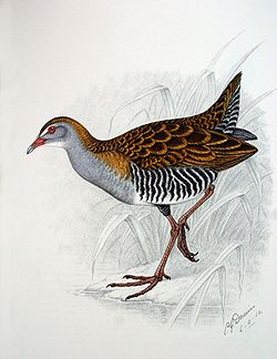 brown bird with grey head, striped flanks and red legs, facing left