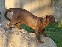 A cat-like predator with a long, slender body stands on a rock.