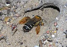 Une abeille creusant un terrier