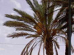 Des dattes dans un palmier