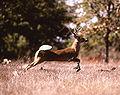 Deer running.jpg