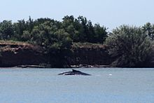 A whale breaches in a light blue body of water in the foreground. The far shore is steep and heavily vegetated.