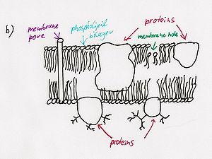Destroyed membrane