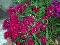 Dianthus barbatus.jpg