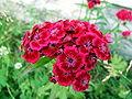 Dianthus barbatus1.jpg