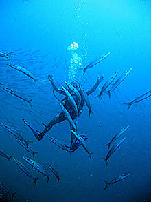 Photo of diver swimming among barracuda