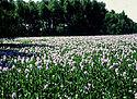 Eichhornia crassipes-water hyacinth.jpg