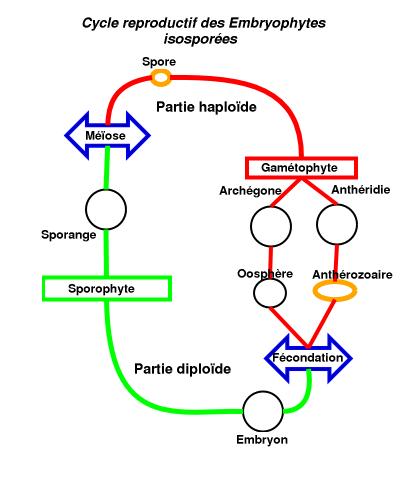Embryophyte.png