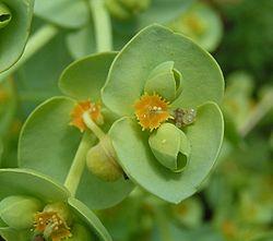 Euphorbia paralias.jpg