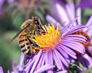 European honey bee extracts nectar.jpg