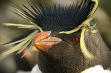 Falkland Islands Penguins 88.jpg