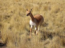 Female Vicuña running.jpg
