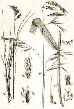 Festuca gigantea (à droite)