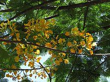 Flamboyant jaune.JPG