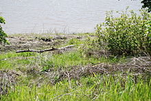 A river bank denuded of grass and other vegetation. Piles of deadwood line the high-water mark.
