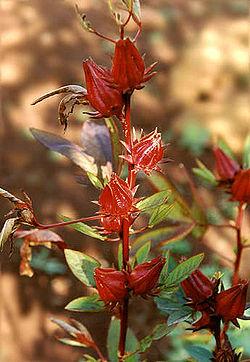 Flor de Jamaica.jpg