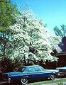 Floweringdogwood.jpg
