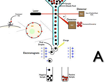 Fluorescence Assisted Cell Sorting (FACS) A.jpg
