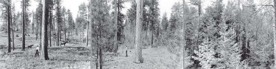 Three photos of the same forest region. The first features a central tree with other trees in the distance. A man and two mounted horses are seen at varying distances behind the central tree. The forest floor features low-lying vegetation such as grasses. The second and third photos feature the same central tree but with increasing amounts of trees in the mid- and foregrounds. The central tree is almost completely blocked from view in the third picture.