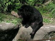 Formosan Black Bear01.jpg