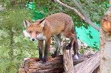 A red fox walking along a fallen tree