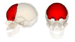 Frontal bone.png