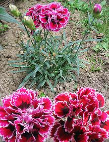 Gartennelke 1.jpg