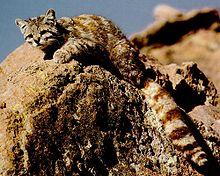 Gato andino.jpg