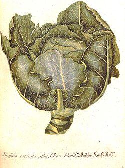 Georg Dionysius Ehret (1708-1770), planche botanique représentant un chou, «Brassica capitata alba, Chou blond»