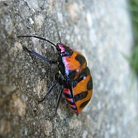 Eucorysses grandis from Japan, crawling up on a wall.