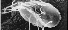 Giardia intestinalis