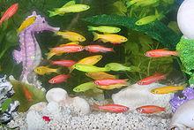Photographie montrant plusieurs poisson GloFish, poisson zèbre transgénique, dans un aquarium. Des poissons de couleurs jaune, rouge et verte sont visibles, alors que le poisson zèbre porte des rayures horizontales blanches et bleues