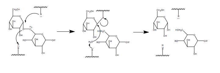 Glycosidase mechanism.png