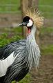 Gray Crowned Crane at Zoo Copenhagen.jpg