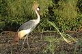 Grey Crowned Crane2.jpg
