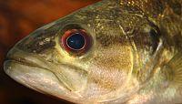 Guadalupe bass - Micropterus treculii.jpg