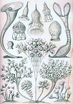 Haeckel Ciliata.jpg