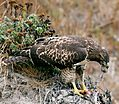 Hawk eating prey.jpg